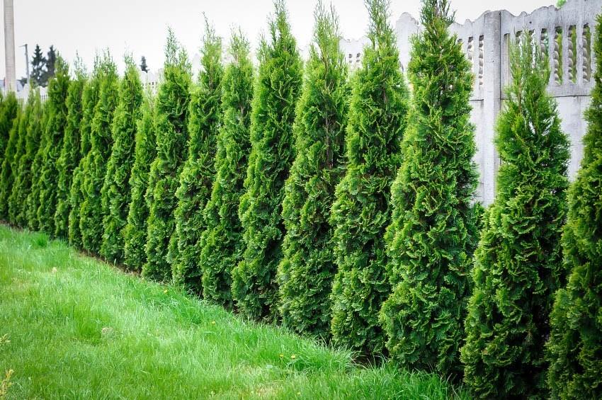 living hedge diy tips