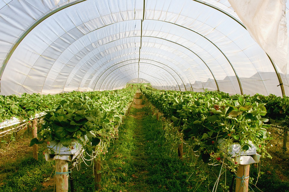 A Strawberry Polytunnel